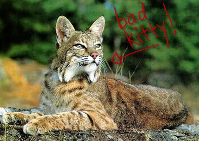bobcat_lying1