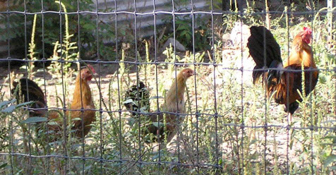 rooster_pullets
